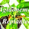アグラオネマを鉢増し植え替えした