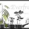 2年目を迎えたエバーフレッシュを鉢増し植替え!【ハイドロカルチャー】