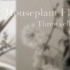 我が家で見られる観葉植物の花3選!ハイドロカルチャーでも花は咲く!