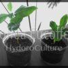 コーヒーの木の苗木をハイドロカルチャーへ!土植えの植物をハイドロカルチャーへ植え替える方法