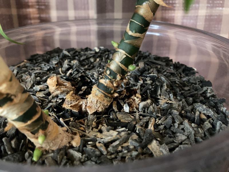 アグラオネマの脇芽1