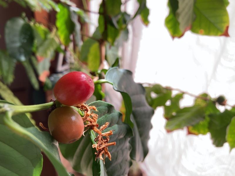 コーヒーの木2020年赤実2