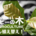 用土の違いで成長速度に大きな差が!コーヒーの木を鉢増し植替え!【ハイドロカルチャー】